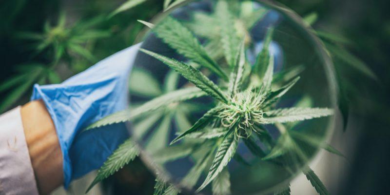 translations-cannabis-industry
